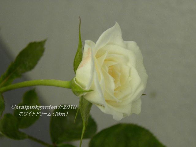ホワイトドリーム2