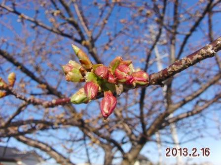 2013.2.16 河津桜