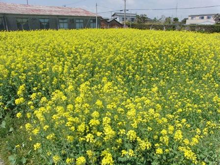 2013.4.5 菜の花畑2