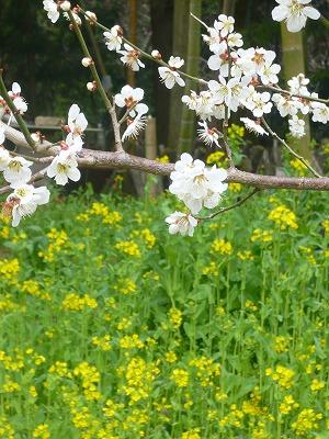 13323菜の花と桜