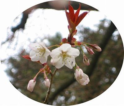 13 3 31舞桜開花