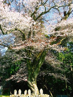 13 3 31藍の舞桜