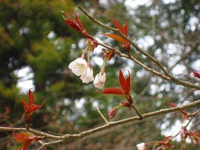 13331舞桜開花1