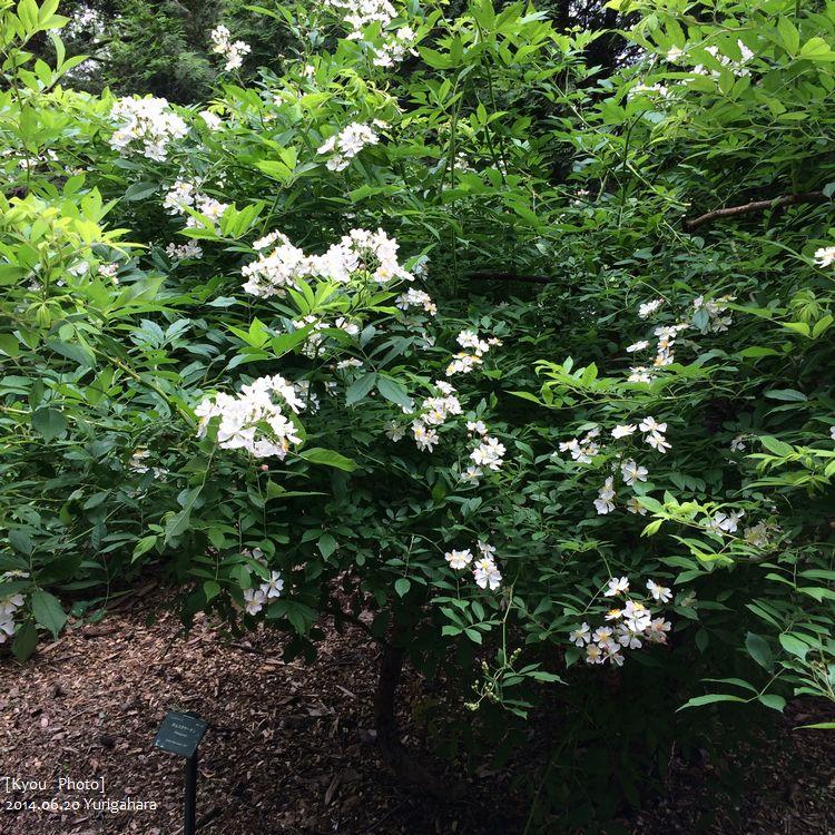 IMG_2386ポルスタヤーナン フィンランドのバラ。国バラで気に入ったあの香りと少し似てるa