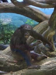 うんこを食べるチンパンジー