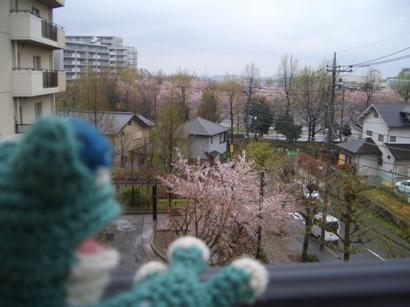 ケロちゃんと桜
