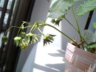 その他 2010年5月9日 苺の木