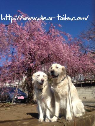 しだれ桜と空晴