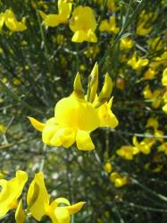 黄色い花のズーム