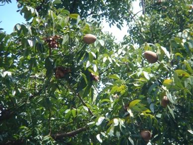 マホガニー 樹上でバラバラに