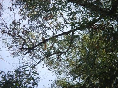 カマバアカシア リス