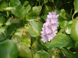 ホテイアオイ花