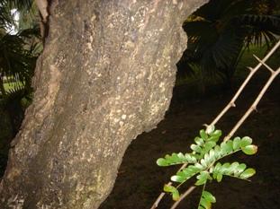 acacia har 2