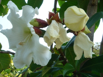 ボーモンティア花