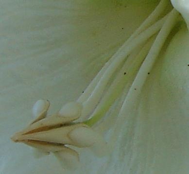 ボーモンティア 雄しべ雌しべ