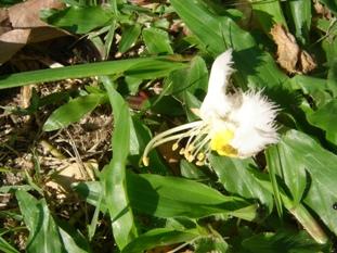 ノーラー花