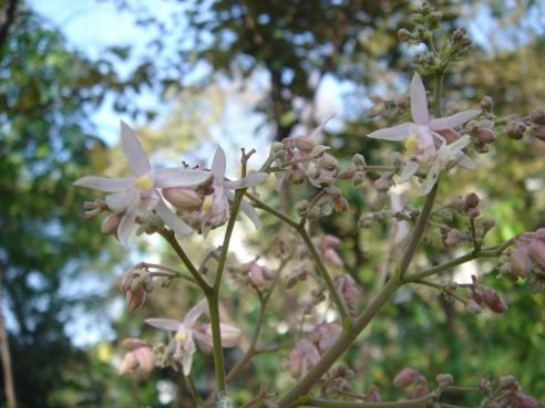 フウセンアメガシワ 花
