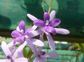ペトレア 花