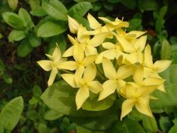 サンタンカ黄色