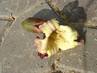 ペーカーの花