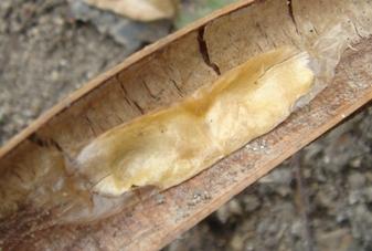 カッツアゴン種2