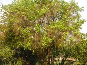 ジックバーン木