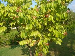 赤い若葉の木