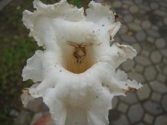 カッツアゴン雄しべ雌しべ