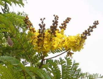yellow 蕾も