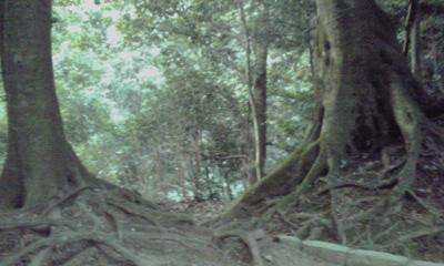 鞍馬山の大杉