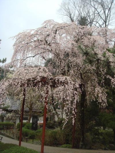 長谷寺のしだれ桜