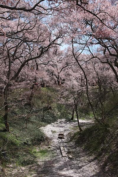 高遠城址公園 桜とお堀