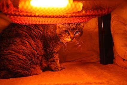 コタツ猫 チビコ