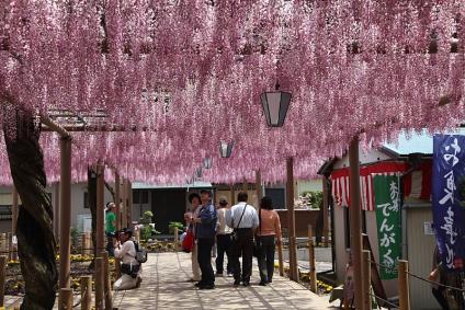 曼荼羅寺 ピンクの藤棚