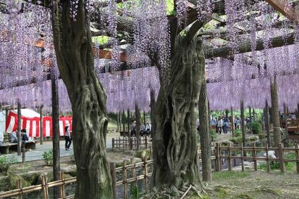 天王川公園 立派な藤の木
