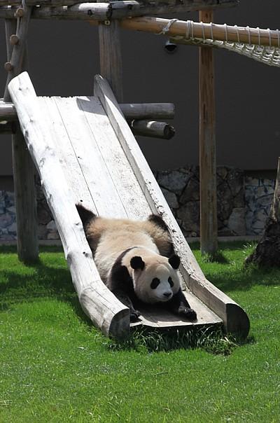 パンダ 滑り台を滑る