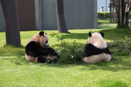 パンダ 笹を食べてまったり