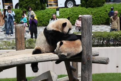 パンダ じゃれあう