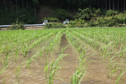 千枚田 風に稲が揺れる