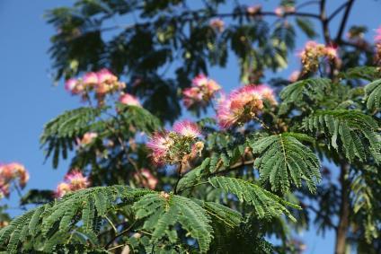 合歓の木(ねむのき)