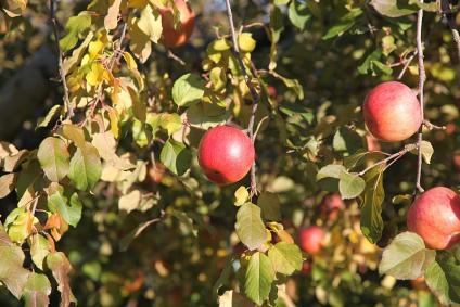 リンゴ in 松川町