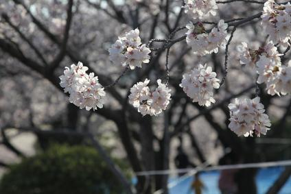 三好池 桜 2010年4月3日 桜