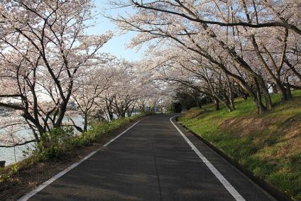 三好池 桜 2010年4月3日 桜のトンネル