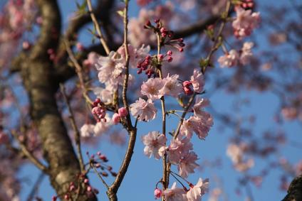 三好池 桜 2010年4月3日 八重桜