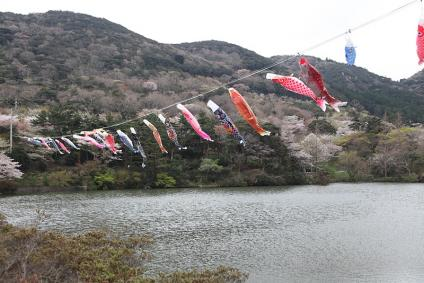 滝頭公園 池におよぐ鯉のぼり