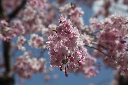 東谷山フルーツパーク 八重枝垂れ桜 アップ