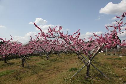 東谷山フルーツパーク 桃の花