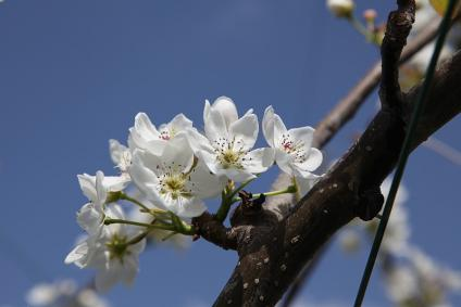 東谷山フルーツパーク 梨の花