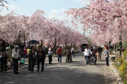 東谷山フルーツパーク 八重枝垂れ桜