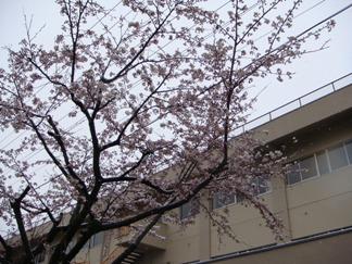 冠雪の桜02